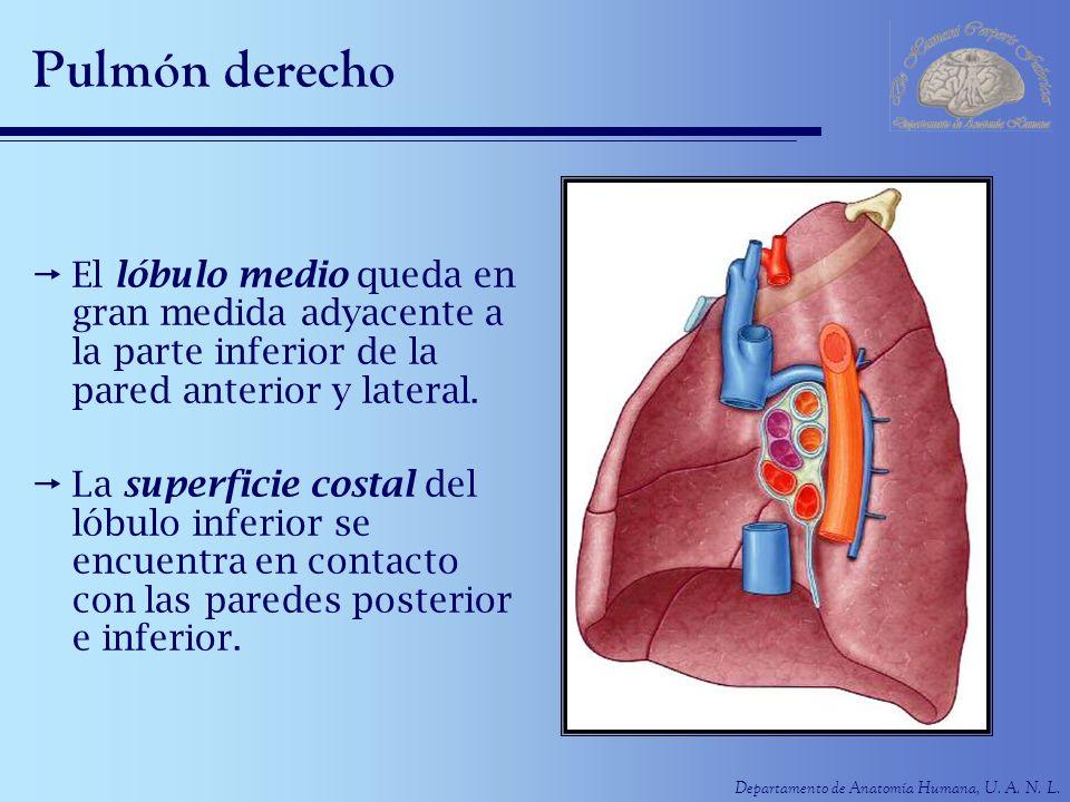 Departamento de Anatomía Humana, U. A. N. L. Pulmón derecho El lóbulo medio queda en gran medida adyacente a la parte inferior de la pared anterior y