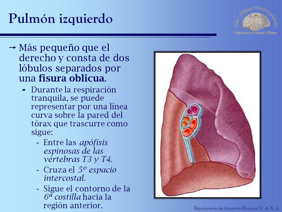 Departamento de Anatomía Humana, U. A. N. L. Pulmón izquierdo Más pequeño que el derecho y consta de dos lóbulos separados por una fisura oblicua. - D