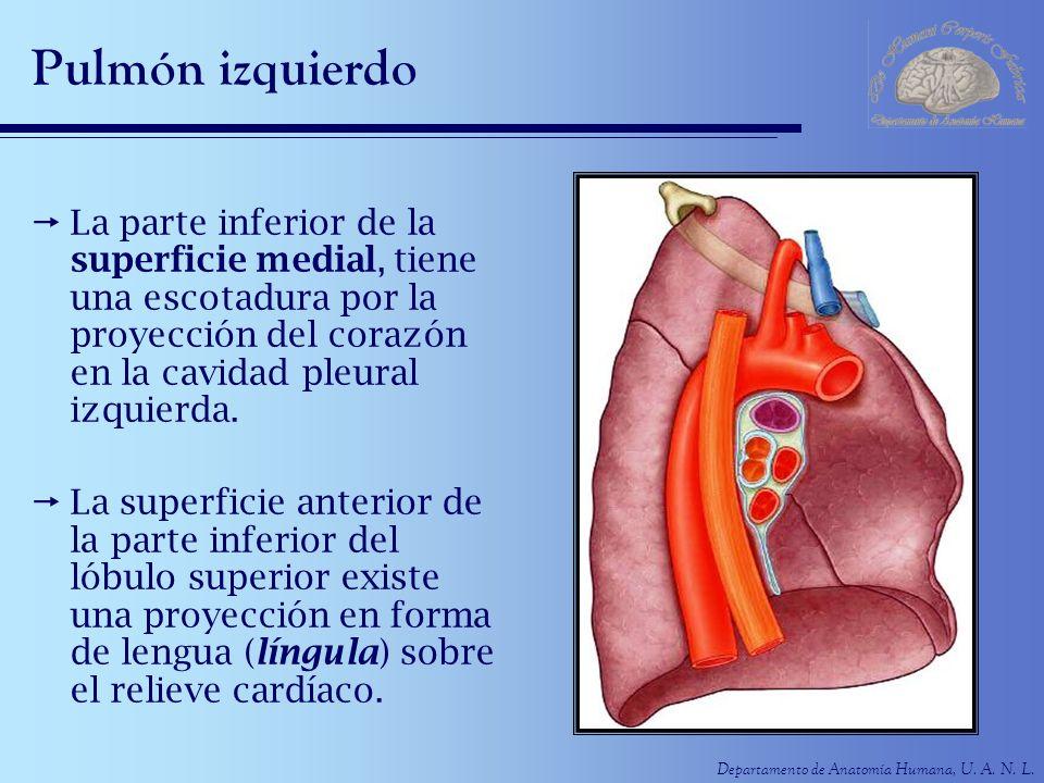 Departamento de Anatomía Humana, U. A. N. L. Pulmón izquierdo La parte inferior de la superficie medial, tiene una escotadura por la proyección del co