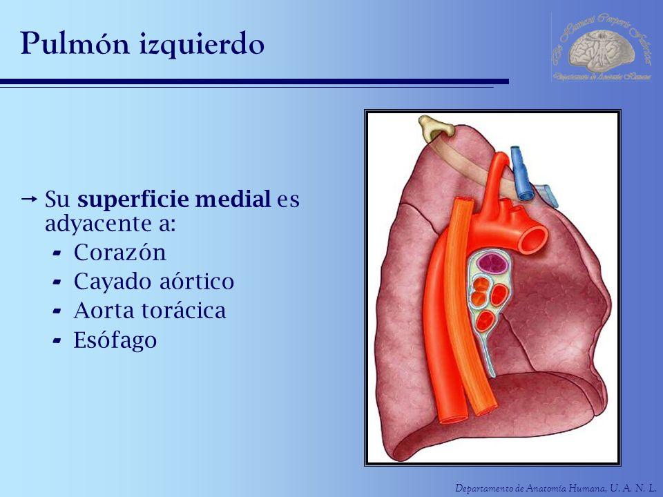 Departamento de Anatomía Humana, U. A. N. L. Pulmón izquierdo Su superficie medial es adyacente a: - Corazón - Cayado aórtico - Aorta torácica - Esófa