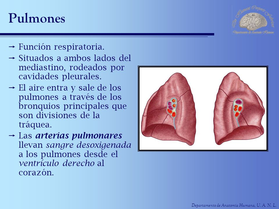Departamento de Anatomía Humana, U. A. N. L. Pulmones Función respiratoria. Situados a ambos lados del mediastino, rodeados por cavidades pleurales. E