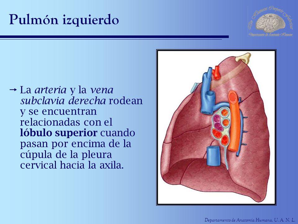Departamento de Anatomía Humana, U. A. N. L. Pulmón izquierdo La arteria y la vena subclavia derecha rodean y se encuentran relacionadas con el lóbulo
