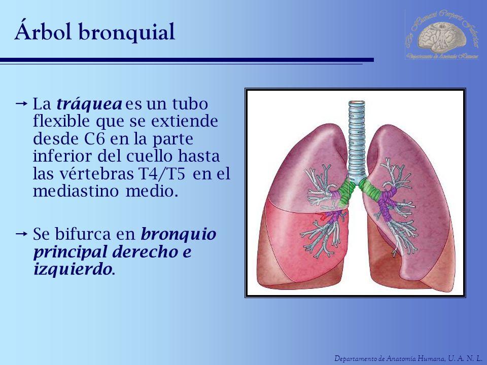 Departamento de Anatomía Humana, U. A. N. L. Árbol bronquial La tráquea es un tubo flexible que se extiende desde C6 en la parte inferior del cuello h