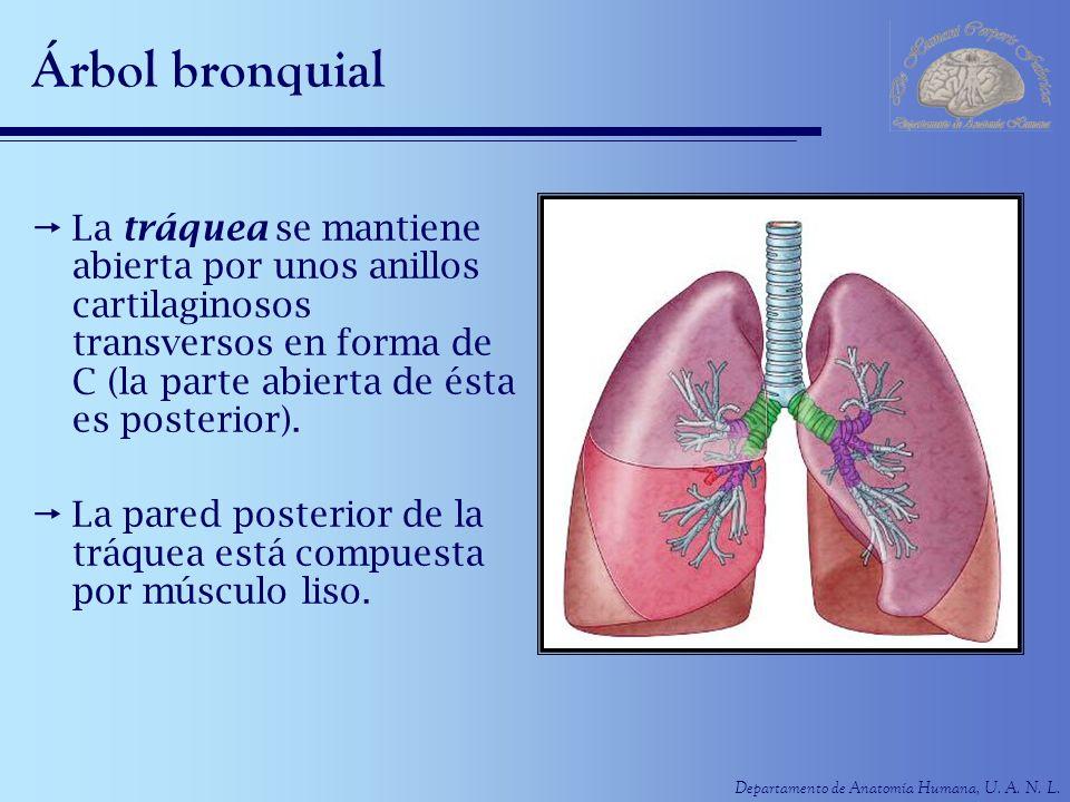 Departamento de Anatomía Humana, U. A. N. L. Árbol bronquial La tráquea se mantiene abierta por unos anillos cartilaginosos transversos en forma de C