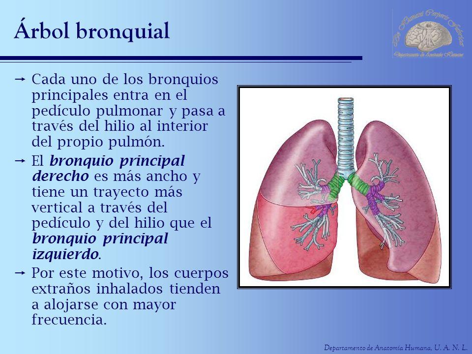 Departamento de Anatomía Humana, U. A. N. L. Árbol bronquial Cada uno de los bronquios principales entra en el pedículo pulmonar y pasa a través del h