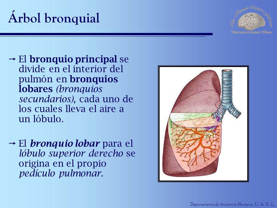 Departamento de Anatomía Humana, U. A. N. L. Árbol bronquial El bronquio principal se divide en el interior del pulmón en bronquios lobares (bronquios