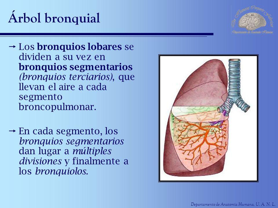 Departamento de Anatomía Humana, U. A. N. L. Árbol bronquial Los bronquios lobares se dividen a su vez en bronquios segmentarios (bronquios terciarios