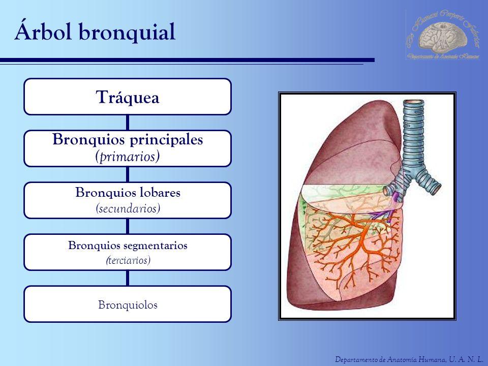Departamento de Anatomía Humana, U. A. N. L. Árbol bronquial Tráquea Bronquios principales (primarios) Bronquios lobares (secundarios) Bronquios segme