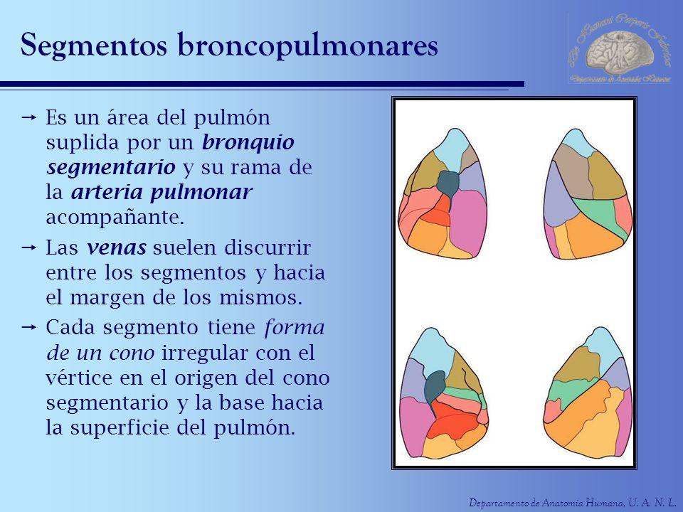 Departamento de Anatomía Humana, U. A. N. L. Segmentos broncopulmonares Es un área del pulmón suplida por un bronquio segmentario y su rama de la arte