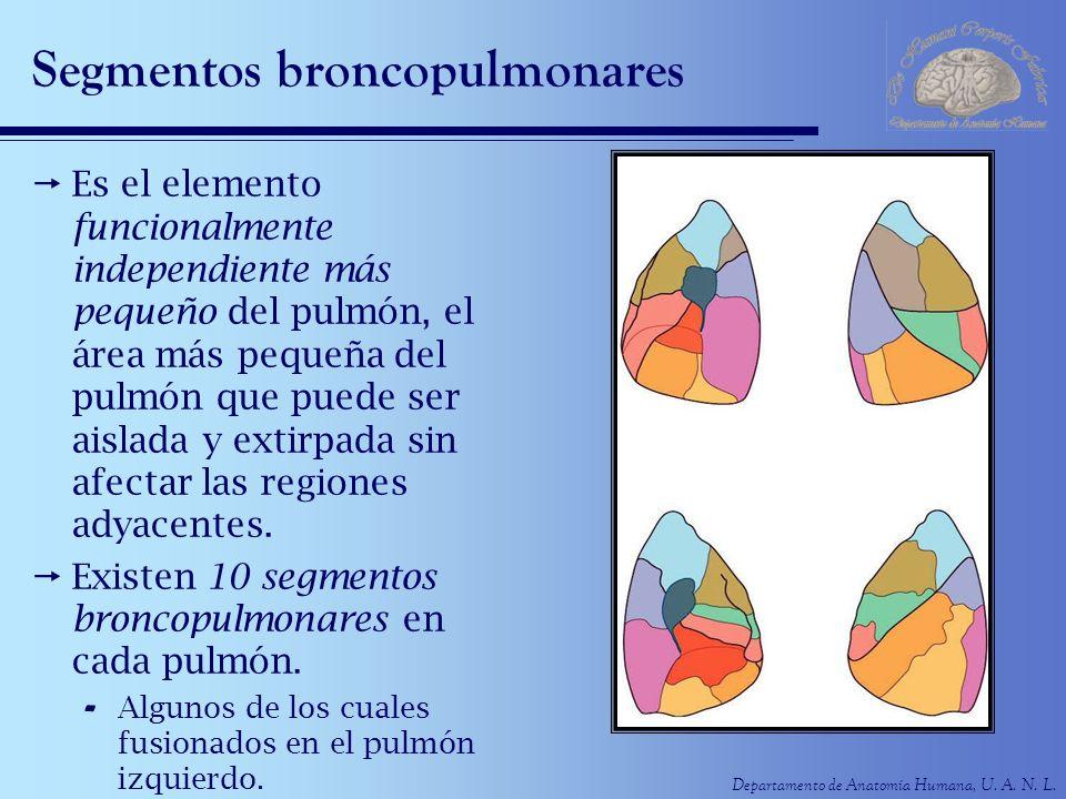 Departamento de Anatomía Humana, U. A. N. L. Segmentos broncopulmonares Es el elemento funcionalmente independiente más pequeño del pulmón, el área má