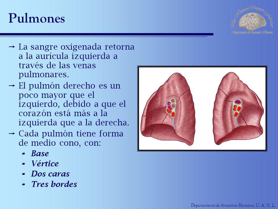Departamento de Anatomía Humana, U. A. N. L. Pulmones La sangre oxigenada retorna a la aurícula izquierda a través de las venas pulmonares. El pulmón