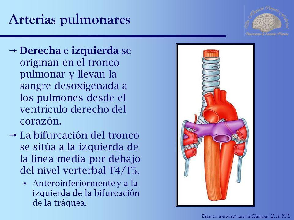 Departamento de Anatomía Humana, U. A. N. L. Arterias pulmonares Derecha e izquierda se originan en el tronco pulmonar y llevan la sangre desoxigenada
