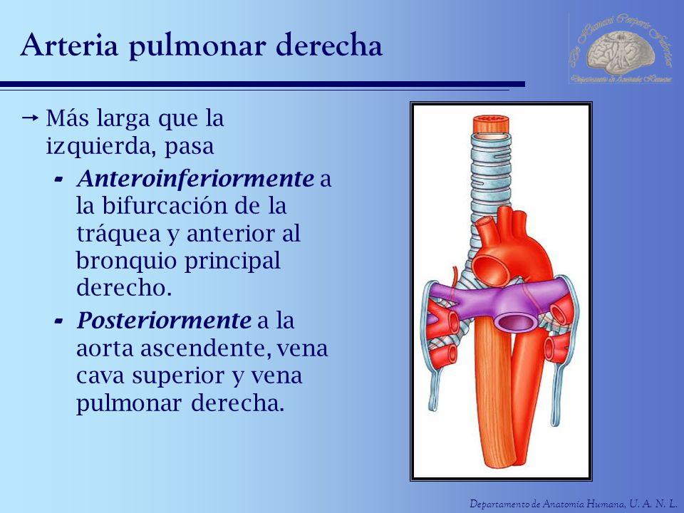Departamento de Anatomía Humana, U. A. N. L. Arteria pulmonar derecha Más larga que la izquierda, pasa - Anteroinferiormente a la bifurcación de la tr