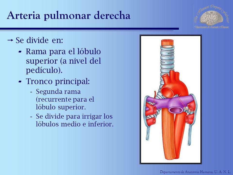 Departamento de Anatomía Humana, U. A. N. L. Arteria pulmonar derecha Se divide en: - Rama para el lóbulo superior (a nivel del pedículo). - Tronco pr