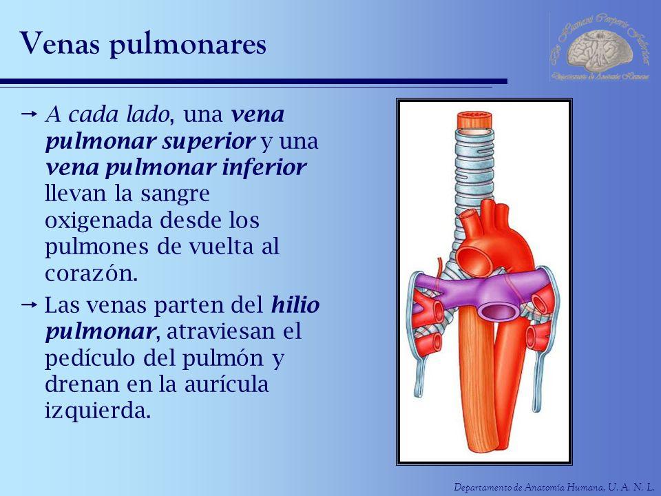 Departamento de Anatomía Humana, U. A. N. L. Venas pulmonares A cada lado, una vena pulmonar superior y una vena pulmonar inferior llevan la sangre ox
