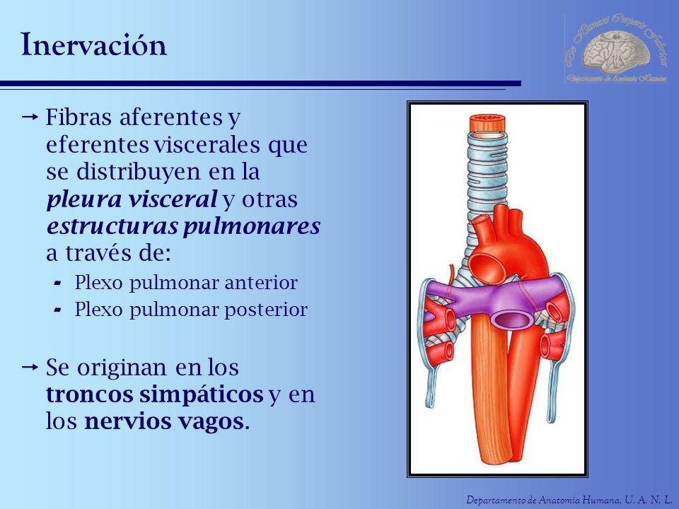Departamento de Anatomía Humana, U. A. N. L. Inervación Fibras aferentes y eferentes viscerales que se distribuyen en la pleura visceral y otras estru