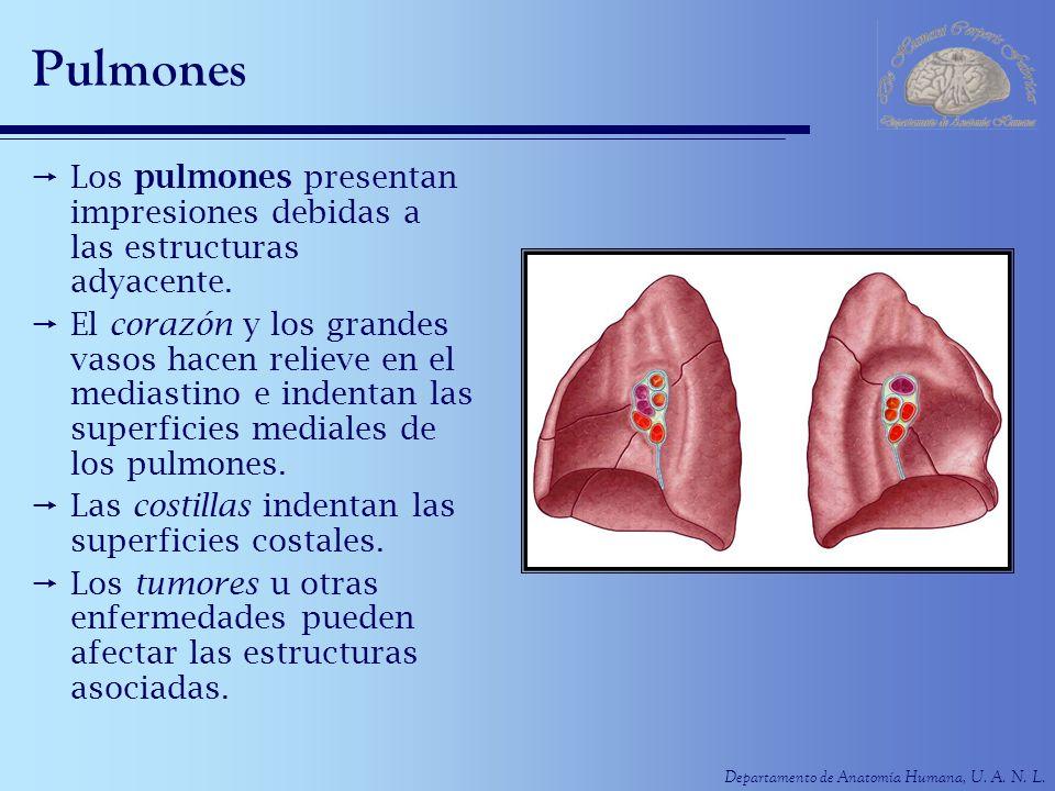 Departamento de Anatomía Humana, U. A. N. L. Pulmones Los pulmones presentan impresiones debidas a las estructuras adyacente. El corazón y los grandes