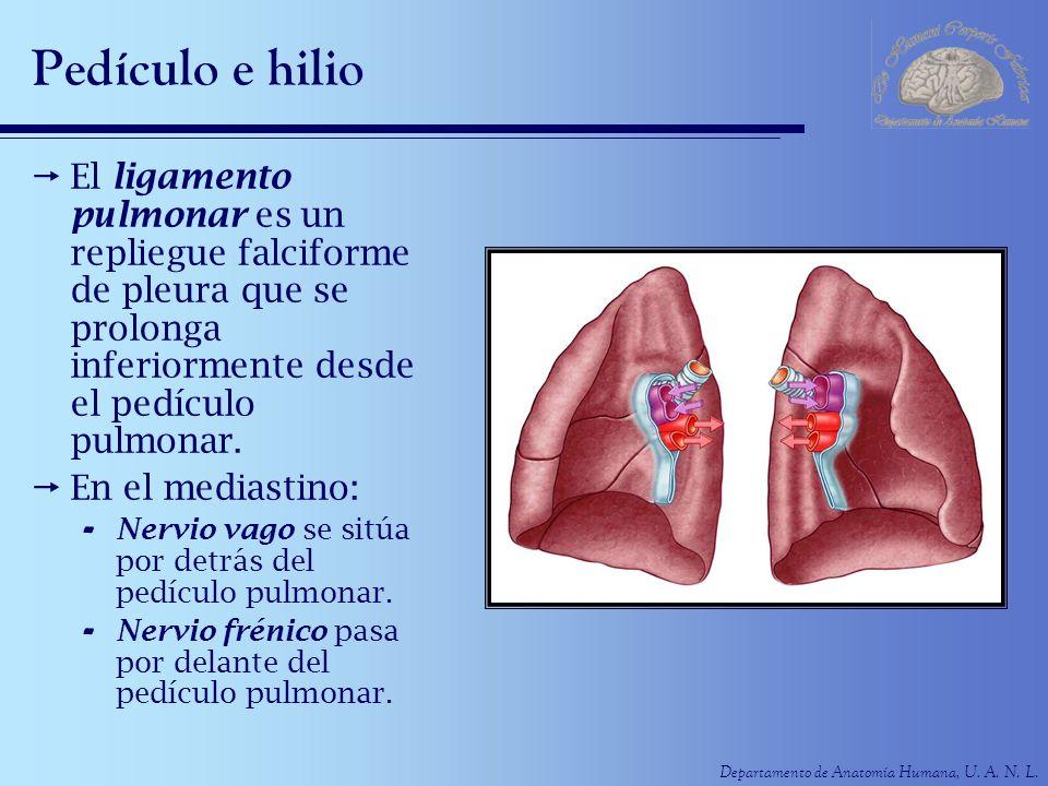 Departamento de Anatomía Humana, U. A. N. L. Pedículo e hilio El ligamento pulmonar es un repliegue falciforme de pleura que se prolonga inferiormente