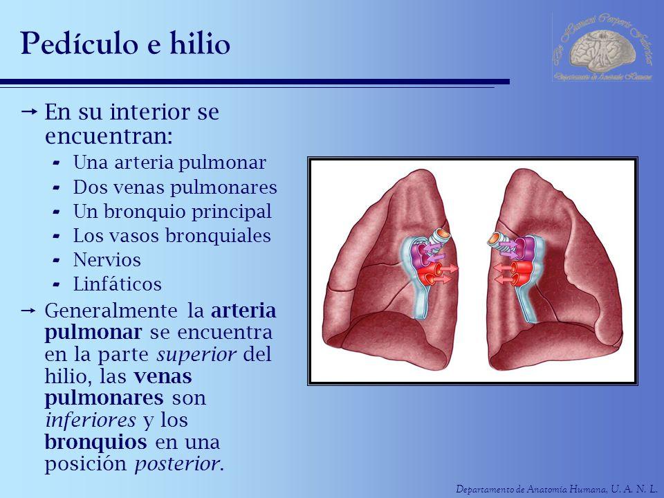 Departamento de Anatomía Humana, U. A. N. L. Pedículo e hilio En su interior se encuentran: - Una arteria pulmonar - Dos venas pulmonares - Un bronqui