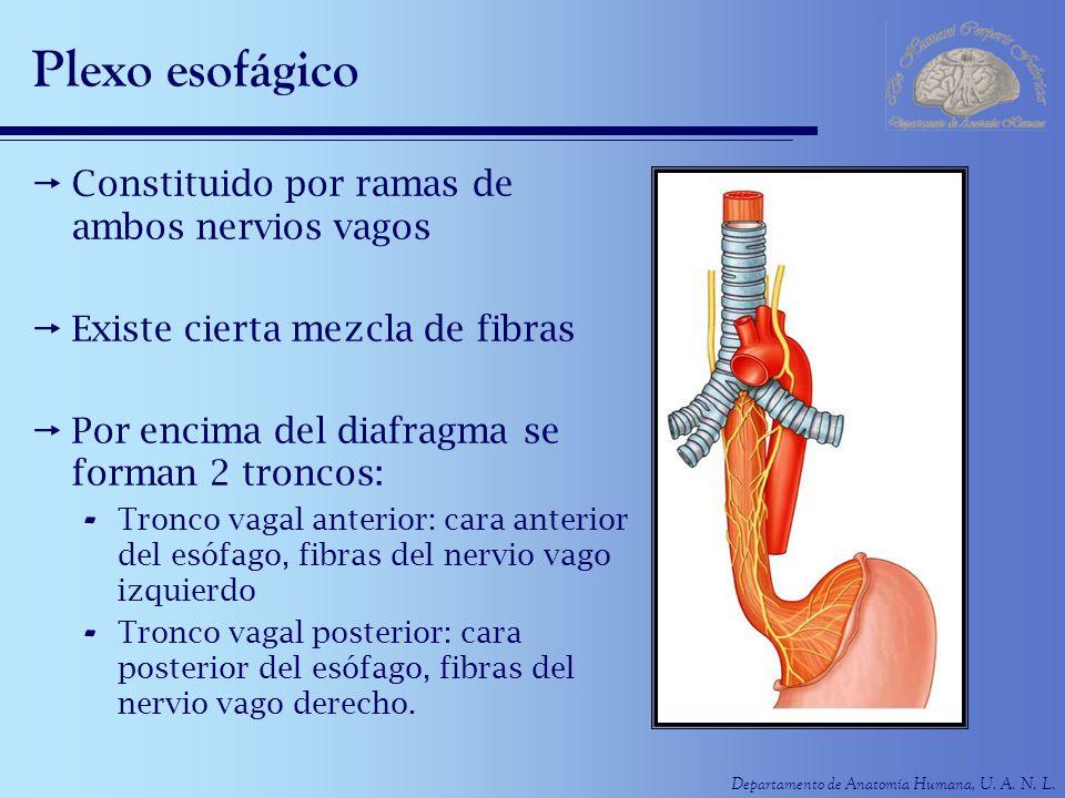 Departamento de Anatomía Humana, U. A. N. L. Plexo esofágico Constituido por ramas de ambos nervios vagos Existe cierta mezcla de fibras Por encima de