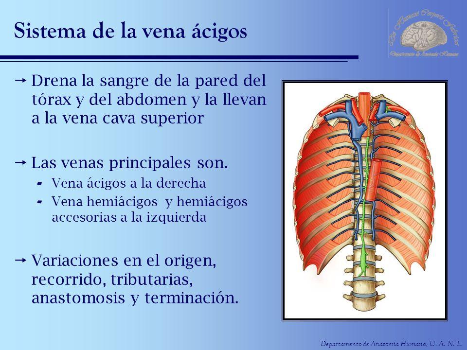 Departamento de Anatomía Humana, U. A. N. L. Sistema de la vena ácigos Drena la sangre de la pared del tórax y del abdomen y la llevan a la vena cava