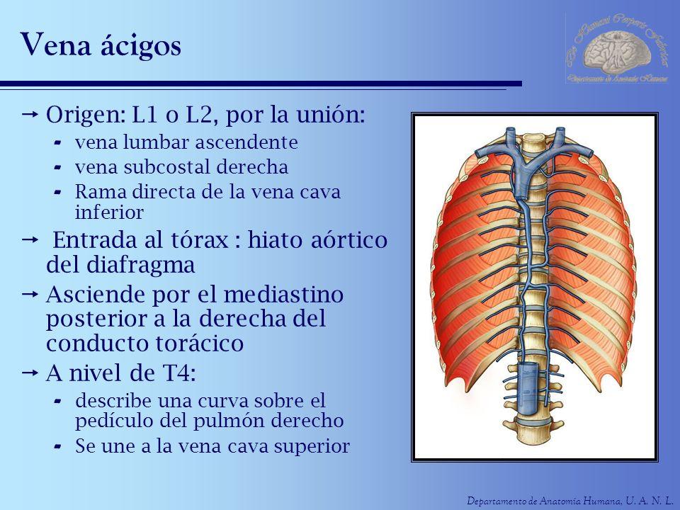 Departamento de Anatomía Humana, U. A. N. L. Vena ácigos Origen: L1 o L2, por la unión: - vena lumbar ascendente - vena subcostal derecha - Rama direc
