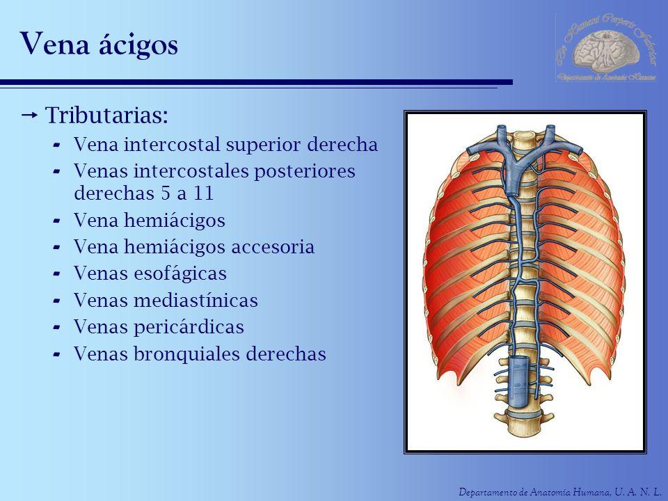 Departamento de Anatomía Humana, U. A. N. L. Vena ácigos Tributarias: - Vena intercostal superior derecha - Venas intercostales posteriores derechas 5