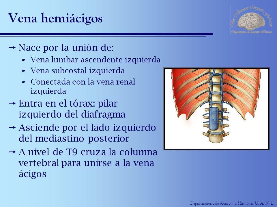 Departamento de Anatomía Humana, U. A. N. L. Vena hemiácigos Nace por la unión de: - Vena lumbar ascendente izquierda - Vena subcostal izquierda - Con