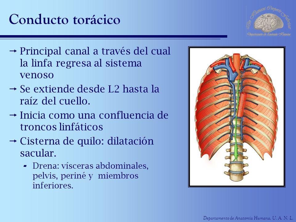 Departamento de Anatomía Humana, U. A. N. L. Conducto torácico Principal canal a través del cual la linfa regresa al sistema venoso Se extiende desde