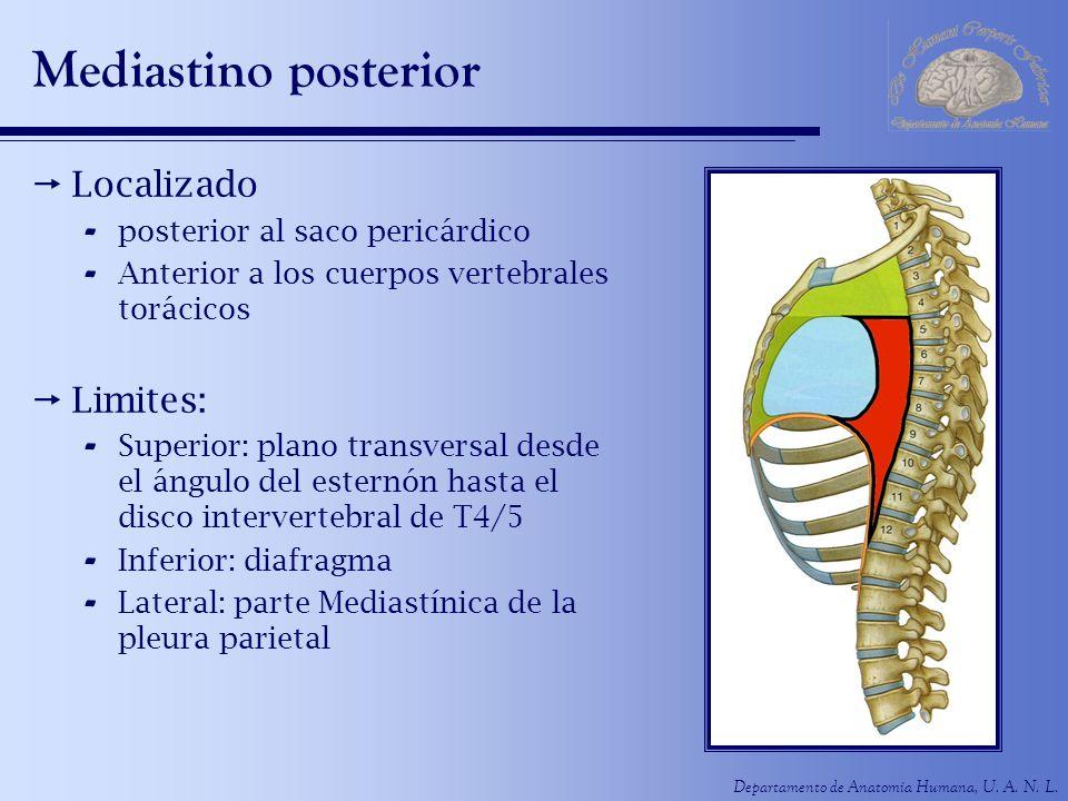 Departamento de Anatomía Humana, U. A. N. L. Mediastino posterior Localizado - posterior al saco pericárdico - Anterior a los cuerpos vertebrales torá