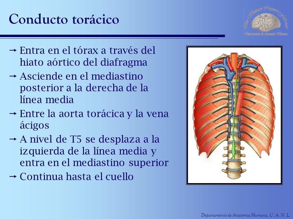 Departamento de Anatomía Humana, U. A. N. L. Conducto torácico Entra en el tórax a través del hiato aórtico del diafragma Asciende en el mediastino po