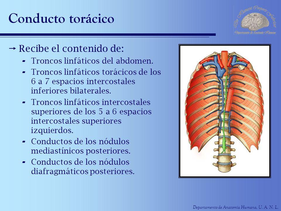 Departamento de Anatomía Humana, U. A. N. L. Conducto torácico Recibe el contenido de: - Troncos linfáticos del abdomen. - Troncos linfáticos torácico