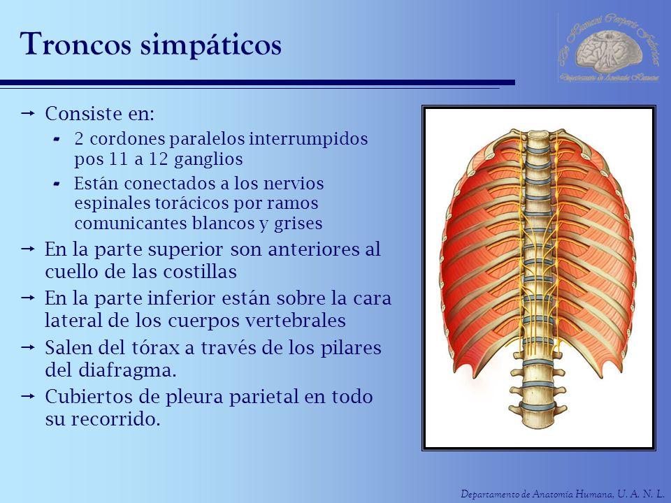 Departamento de Anatomía Humana, U. A. N. L. Troncos simpáticos Consiste en: - 2 cordones paralelos interrumpidos pos 11 a 12 ganglios - Están conecta