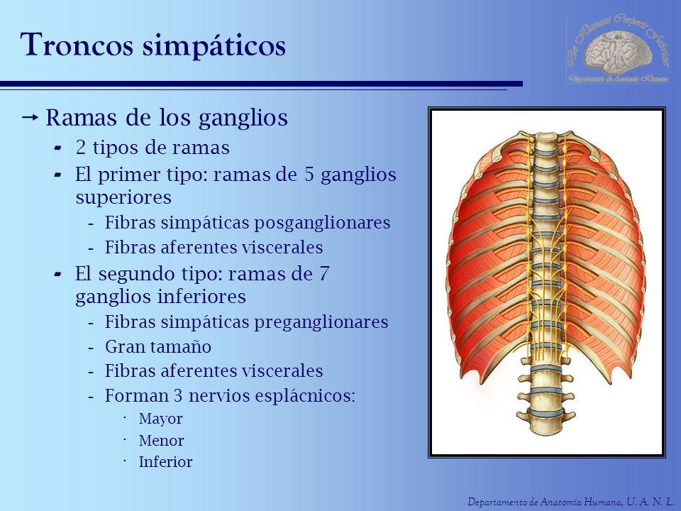 Departamento de Anatomía Humana, U. A. N. L. Troncos simpáticos Ramas de los ganglios - 2 tipos de ramas - El primer tipo: ramas de 5 ganglios superio