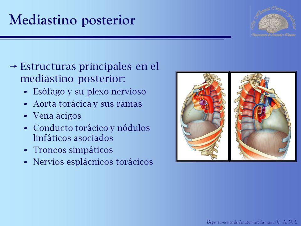 Departamento de Anatomía Humana, U. A. N. L. Mediastino posterior Estructuras principales en el mediastino posterior: - Esófago y su plexo nervioso -