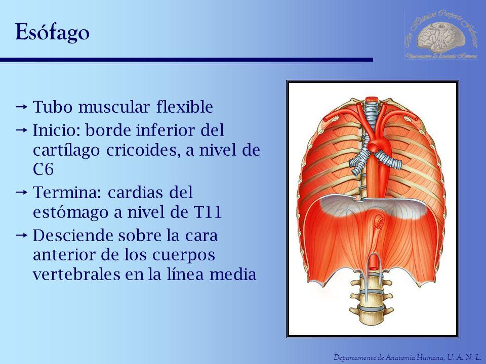 Departamento de Anatomía Humana, U. A. N. L. Esófago Tubo muscular flexible Inicio: borde inferior del cartílago cricoides, a nivel de C6 Termina: car
