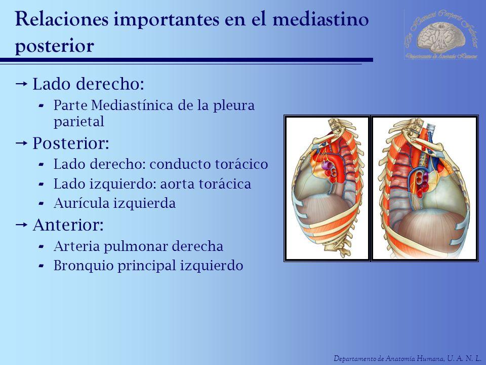 Departamento de Anatomía Humana, U. A. N. L. Relaciones importantes en el mediastino posterior Lado derecho: - Parte Mediastínica de la pleura parieta