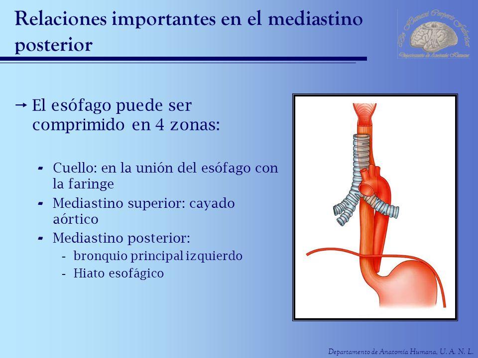 Departamento de Anatomía Humana, U. A. N. L. Relaciones importantes en el mediastino posterior El esófago puede ser comprimido en 4 zonas: - Cuello: e