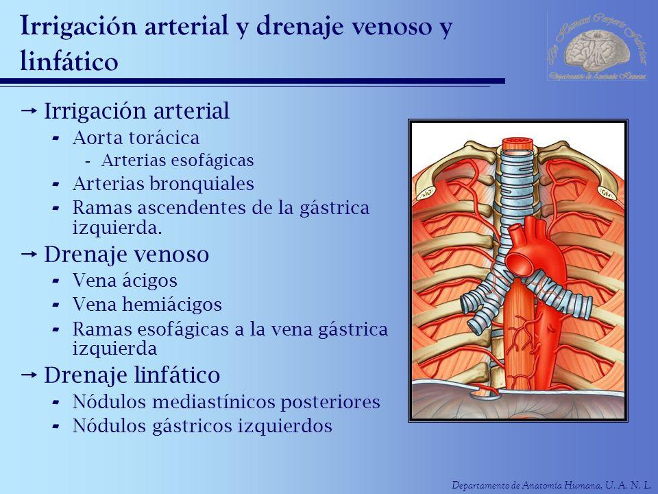 Departamento de Anatomía Humana, U. A. N. L. Irrigación arterial y drenaje venoso y linfático Irrigación arterial - Aorta torácica -Arterias esofágica