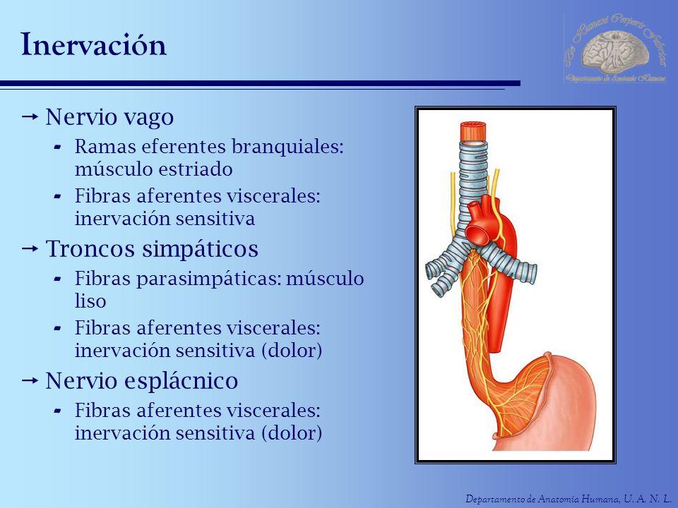 Departamento de Anatomía Humana, U. A. N. L. Inervación Nervio vago - Ramas eferentes branquiales: músculo estriado - Fibras aferentes viscerales: ine