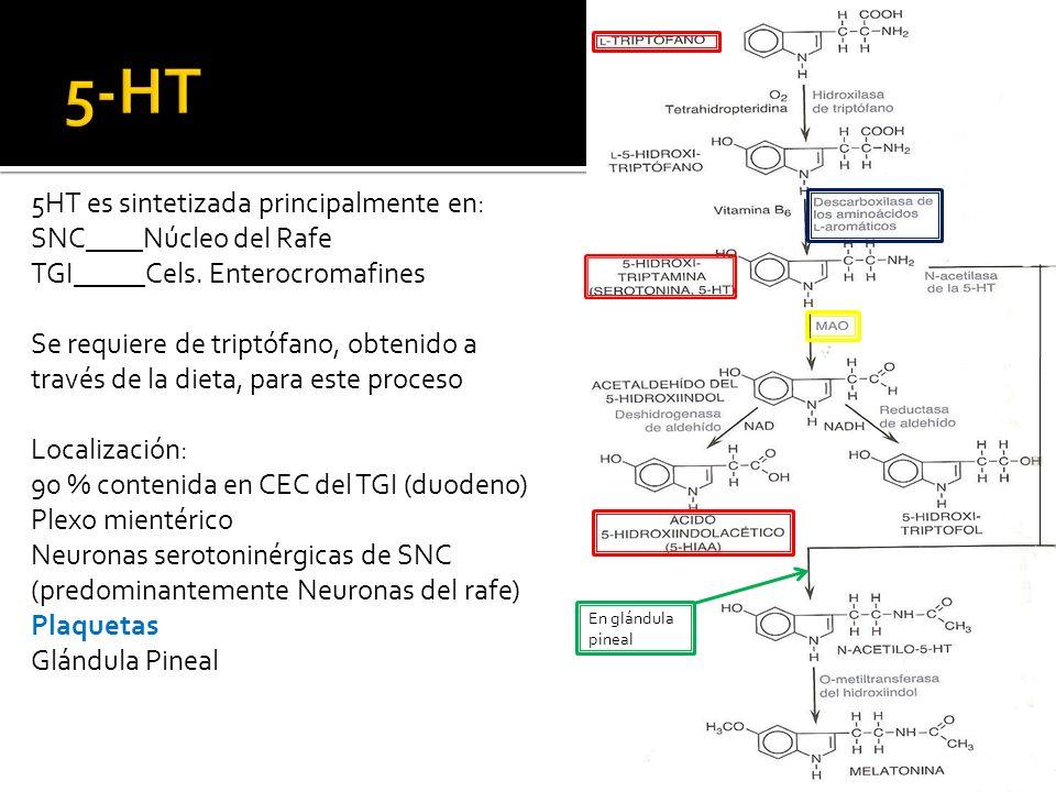 5HT es sintetizada principalmente en: SNC____Núcleo del Rafe TGI_____Cels. Enterocromafines Se requiere de triptófano, obtenido a través de la dieta,