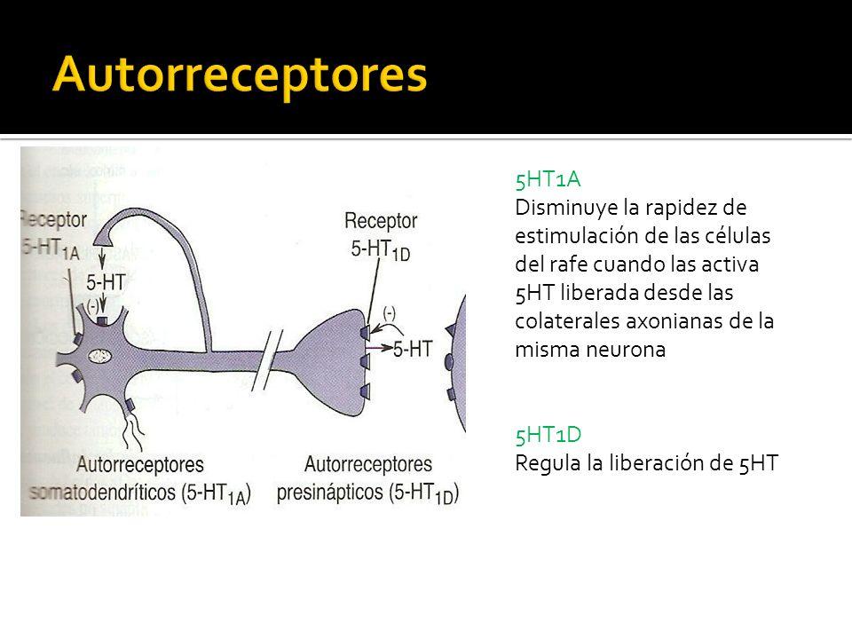 5HT1A Disminuye la rapidez de estimulación de las células del rafe cuando las activa 5HT liberada desde las colaterales axonianas de la misma neurona