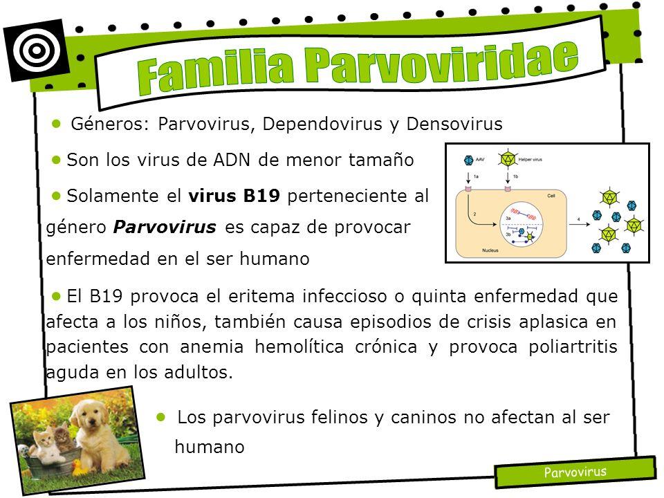 Parvovirus Géneros: Parvovirus, Dependovirus y Densovirus El B19 provoca el eritema infeccioso o quinta enfermedad que afecta a los niños, también cau