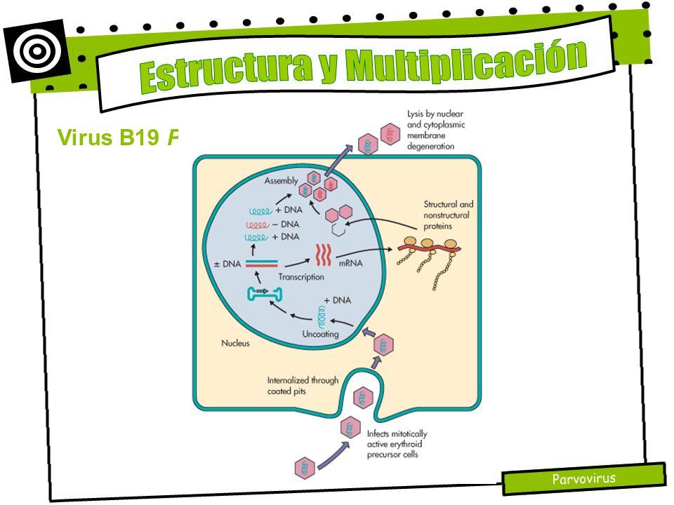 Parvovirus Virus B19 Parvovirus