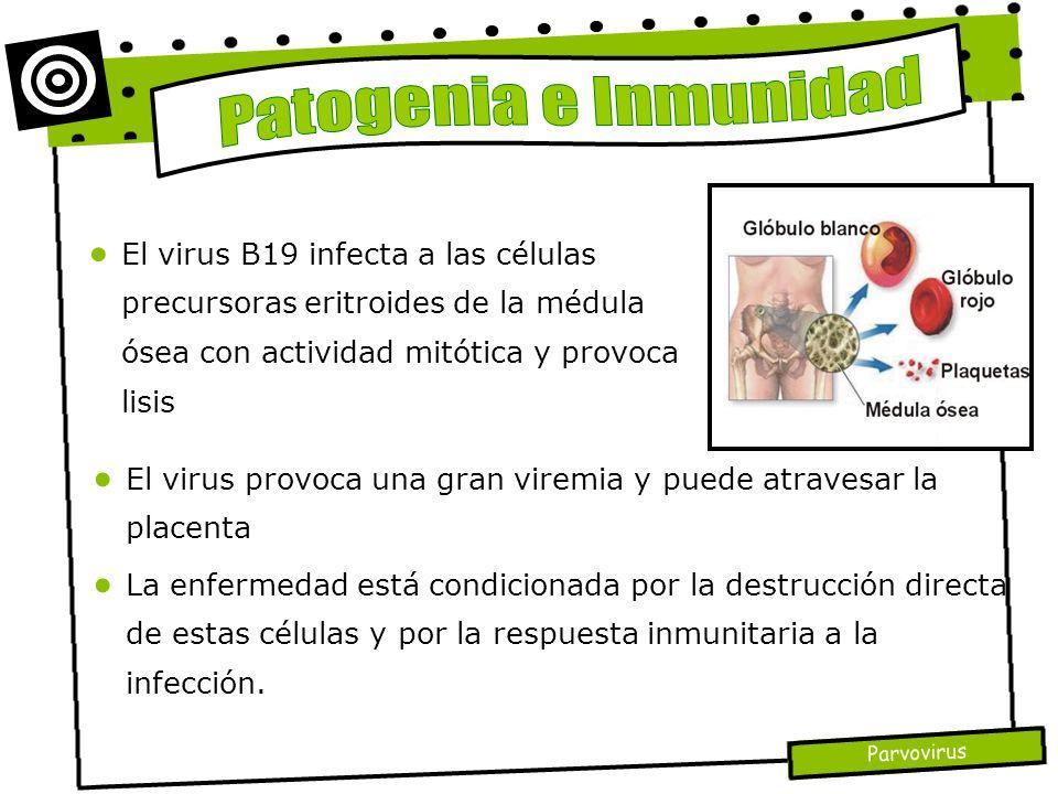 Parvovirus El virus provoca una gran viremia y puede atravesar la placenta La enfermedad está condicionada por la destrucción directa de estas células