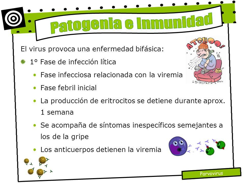 El virus provoca una enfermedad bifásica: 1° Fase de infección lítica Fase infecciosa relacionada con la viremia Fase febril inicial La producción de