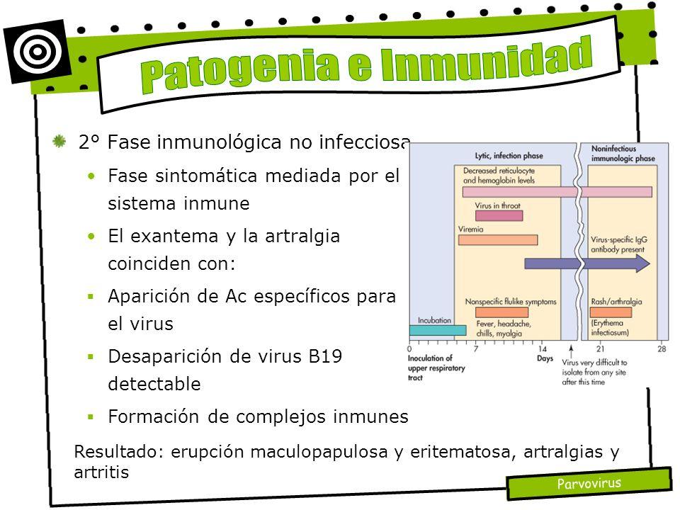 Parvovirus 2° Fase inmunológica no infecciosa Fase sintomática mediada por el sistema inmune El exantema y la artralgia coinciden con: Aparición de Ac