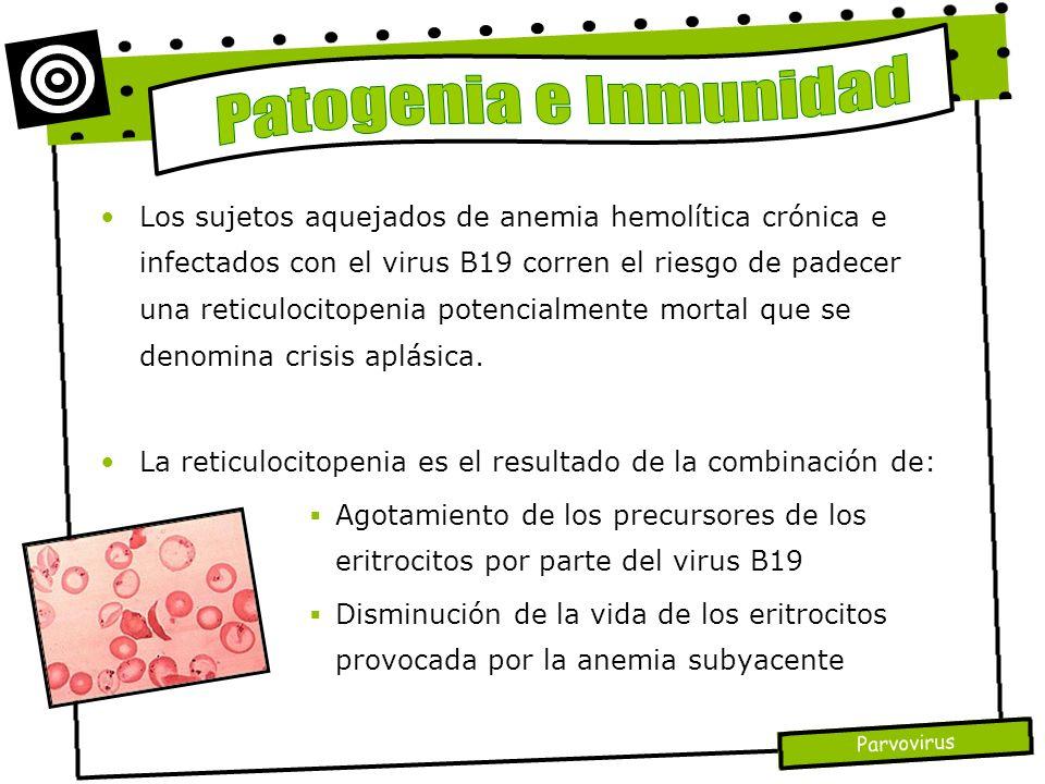 Parvovirus Los sujetos aquejados de anemia hemolítica crónica e infectados con el virus B19 corren el riesgo de padecer una reticulocitopenia potencia