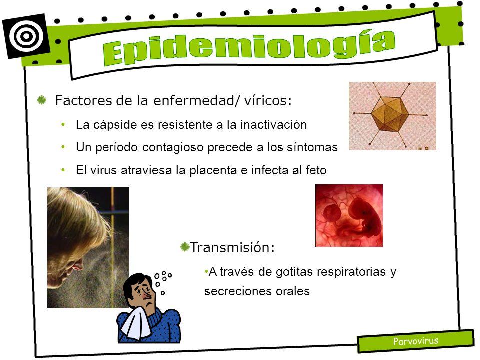 Parvovirus Factores de la enfermedad/ víricos: La cápside es resistente a la inactivación Un período contagioso precede a los síntomas El virus atravi