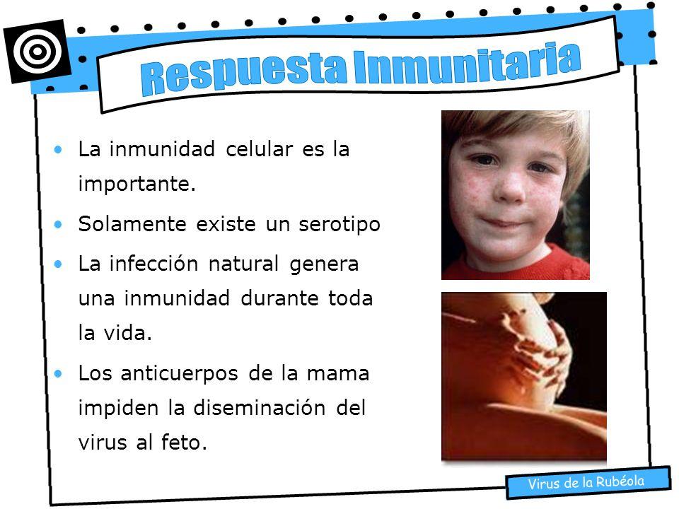 La inmunidad celular es la importante. Solamente existe un serotipo La infección natural genera una inmunidad durante toda la vida. Los anticuerpos de